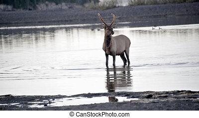 Elk Walking in Water