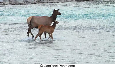 Elk with Calf 01 - Elk with Calf in river water