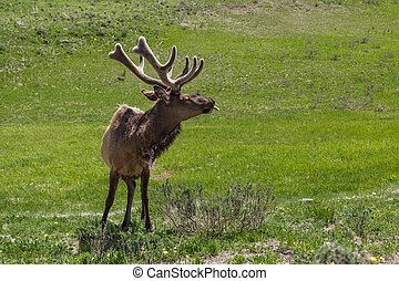 Elk with tongue sticking out