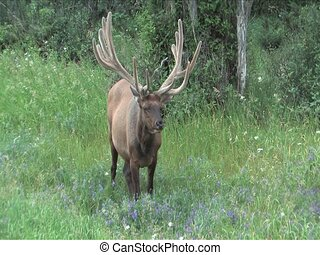 Elk with velvet antlers grazing on summer flowers