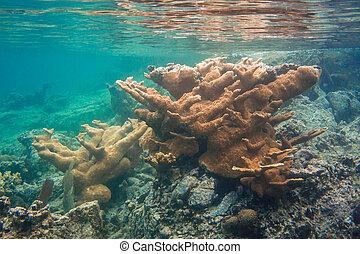 elkhorn, au-dessous, corail,  surface, juste