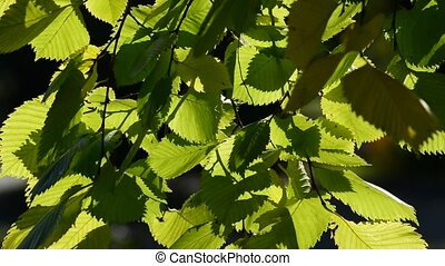 elm leaves in the wind on  sunny day