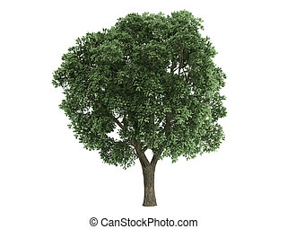 Elm or Ulmus - Elm or latin Ulmus isolated on white...