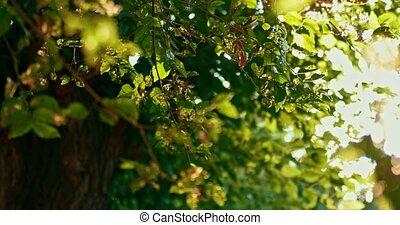 Elm tree branches backlit. Damaged elm leaves fluttering on...