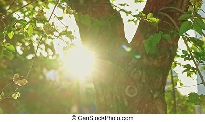 Elm tree in blinking sunset light with its twigs moving with...