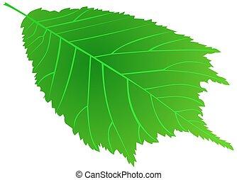 elm,(Ulmus glabra),  vector, isolated elm leaf,