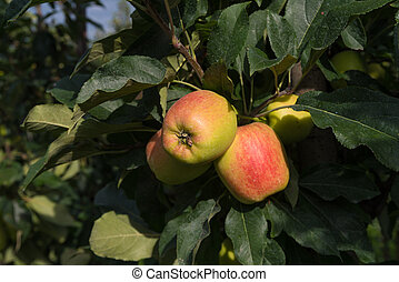 elstar apples in an orchard