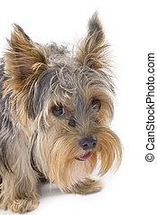 elszigetelt, purebred, terrier), (yorkshire, kutya, fehér