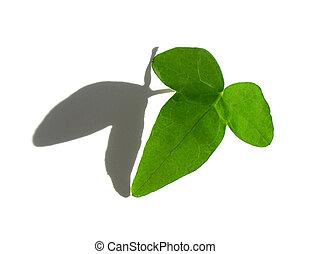 elszigetelt, zöld, repkény, levél növényen, white