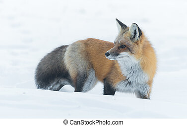 Elusive shy Red Fox, (Vulpes vulpes), visits on winter day.