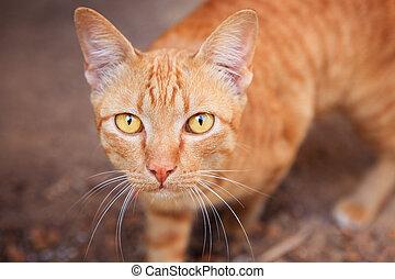 elzáródik, arc, közül, sziámi, thai ember, belföldi macska,...