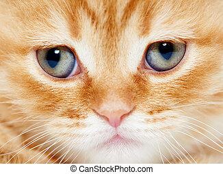elzáródik, pofa, közül, brit, shorthair, cica, macska