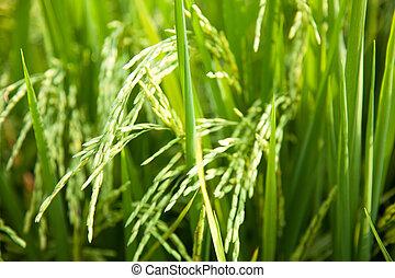 em, a, arroz, fields.
