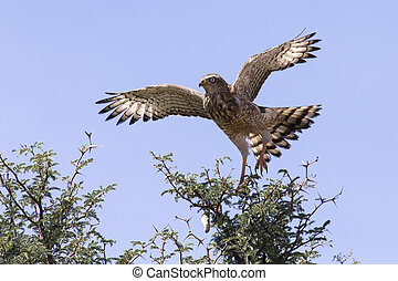 emale Pale Chanting Goshawk sitting in a tree against blue Kalahari sky