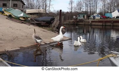 Embden domestic geese - Domestic geese on the shore