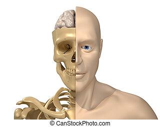 emberi agyonüt, csontváz, test