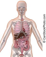 emberi anatomy