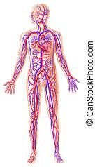 emberi, circolatory, rendszer, keresztmetszet