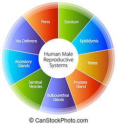 emberi, hím, diagram, reproductive rendszer