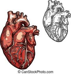 emberi szív, orgánum, vektor, skicc, ikon