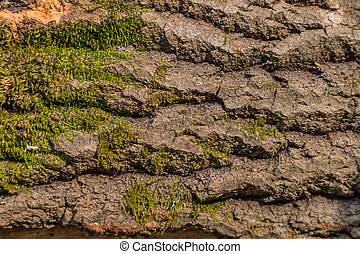 Embossed texture of brown tree bark with green moss. Horizontal photography of texture of tree bark. Embossed creative texture of old oak bark.