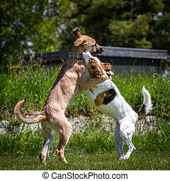 Two young dogs playing standing on its hind legs while the impression is created that the two dogs hug.