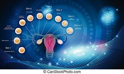 embrión, desarrollo, de, ovulación, hasta, blastocyst