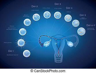 Embryo development abstract blue background. Development till blastocyst implantation.
