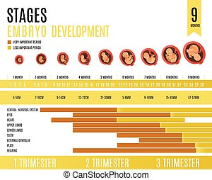 Embryo development month and trimester stages vector illustration.
