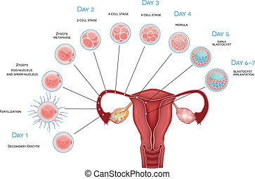 Embryo development. Secondary oocyte ovulation, fertilization and development till blastocyst implantation.