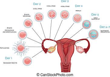 embryo, oocyte, blastocyst, development., befruktning, ovulation, implantation., kassa, utveckling, sekundärt