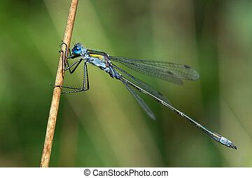 Emerald Damselfly (Lestes Sponsa) - Emerald Damselfly