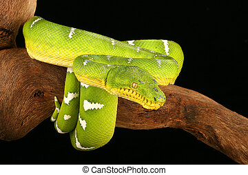 Emerald Tree Boa ( Corallus caninus) - Emerald Tree Boa...