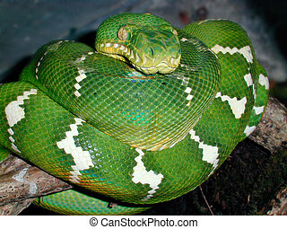 Emerald Tree Boa - Emerald tree boa also known as a green...