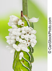 Emerged wasp cocoons on tobacco larva - Braconid wasp pupa...