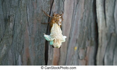 Emergence of cicada - Tokyo, Japan-August 1, 2017:Timelapse...