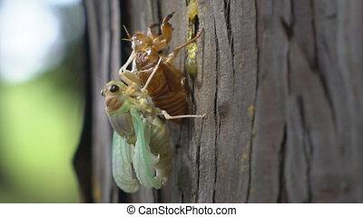Emergence of cicada with buzzing of cicadas - Tokyo,...