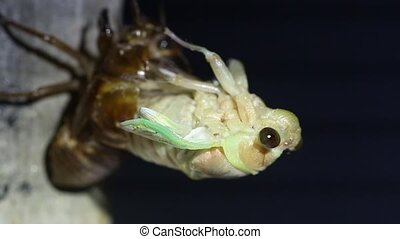 Emergence of Large Brown Cicada (Graptopsaltria...