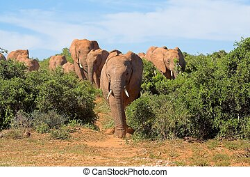 Emerging Elephants - Elephant herd emerging from the African...