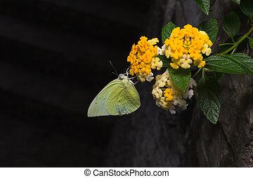 emigrant, limão, brilhante, catopsilia, borboletas, lantana., pomona