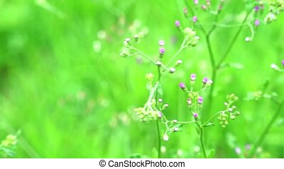 emilia sonchifolia health benefits leaves is used in treatment of dysentery