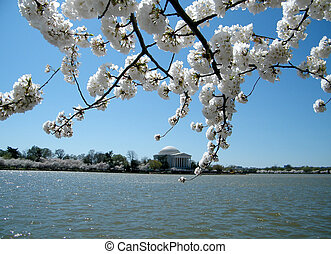 emlékmű, cseresznye, washington, április, jefferson, kivirul, 2010