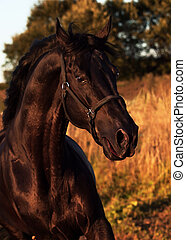 emotion portrait of beautiful black breed stallion in field