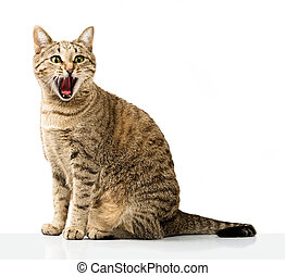Emotional domestic cat on a white background