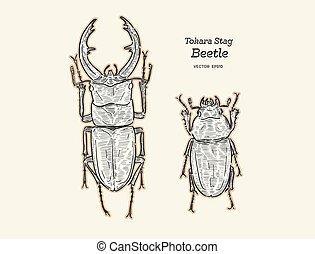 empate, tokara, mano, ciervo, vector., escarabajo, bosquejo...