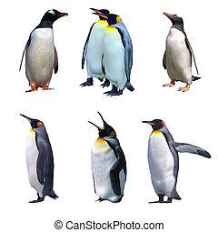 emperador, aislado, gentoo, pingüinos