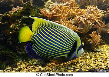 Emperor angelfish (Pomacanthus imperator) among underwater coral reef
