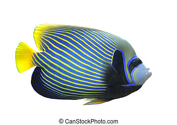 Emperor Angelfish (Pomacanthus imperator) Isolated on white ...