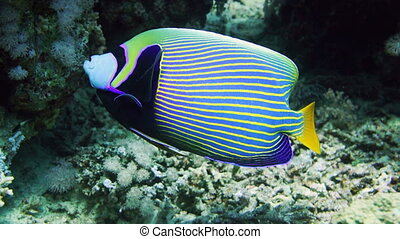 Emperor Angelfish (Pomacanthus imperator) on Coral Reef in...