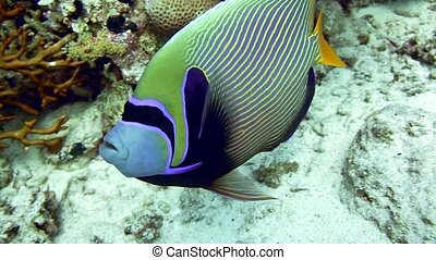Emperor Angelfish Pomacanthus imperator on Coral Reef
